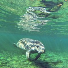 """<b><a href=""""http://www.floridasprings.org/visit/map/manateesprings/"""">Manatee Springs State Park</a></b> <br> 11650 Northwest 115th Street, Chiefland, FL 32626 <br><b>2 hours, 7 minutes from Orlando</b> <br><br>Living up to its name, Manatee Springs gives guests a chance to catch of glimpse of the gentle sea-cow during early spring as the aquatic mammal seek warmer waters. During manatee season, canoeing and kayaking are forbidden, but the rest of the year, you can fish, swim, boat, snorkel…"""