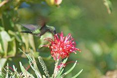 Foto beija-flor-de-fronte-violeta (Thalurania glaucopis) por Ivan Angelo   Wiki Aves - A Enciclopédia das Aves do Brasil