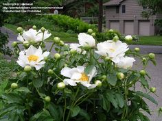 Chinese Peony, Garden Peony 'Krinkled White'  Paeonia lactiflora