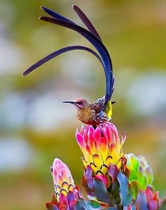 The birds of paradise are a group of birds that are found in the tropical rainforests of south east Asia. These birds are best known for the beautiful array Exotic Birds, Colorful Birds, Exotic Pets, Beautiful Creatures, Animals Beautiful, Cute Animals, Funny Animals, Most Beautiful Birds, Pretty Birds