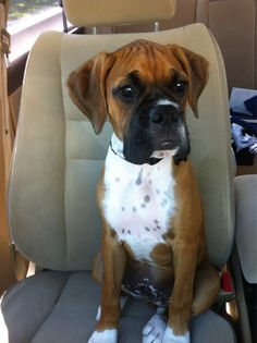 After we get settled with Carter, I'm so getting another boxer pup :D