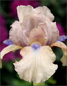 "Bearded Iris - ""Concertina"".  32""-36"".  Late Spring & Autumn."