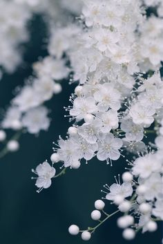 little white flowers #cherry #blossom