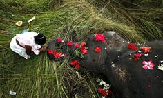 La muerte digna de un elefante  En estas imágenes se puede ver el profundo respeto de los habitantes de una aldea india ante una hembra de elefante asiático (Elephas maximus); que murió al cruzar junto a su manada las vías del tren.  El suceso ha ocurrido en las cercanías de la aldea de Panbari (India).