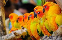 O periquito de sol ou jandaia-amarela (Aratinga solstitialis) é um tamanho médio brilhantemente colorido papagaio nativo do nordeste da América do Sul.