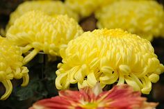 Chrysanthemum series