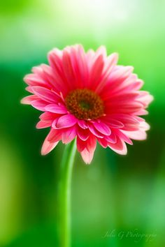 Pink Gerber Daisy - By Julie G Photography Beautiful Flowers Garden, Real Flowers, Beautiful Gardens, You're Beautiful, Bonsai, Gerber Daisies, Naturally Beautiful, Lily Of The Valley, Water Lilies