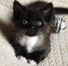 cute rescue kitten that has polydactyl digits and a face that is adorable