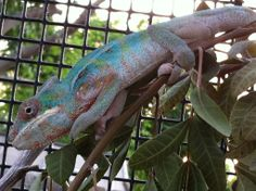 Panther Chameleon 4 months old
