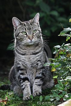 Image result for gray tabby cat