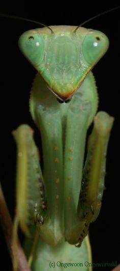 5. sphodromantis-baccettii2.jpg (500×1129)