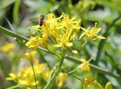 busy bee buzzing! http://www.gardenware.com.au/articles/veggie-patch-ramblings-august/