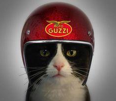Moto Guzzi - Cat on Moto Guzzi – Cat on wheels! Moto Guzzi – Cat on wheels! Moto Guzzi Motorcycles, Cool Motorcycles, Motorcycle Helmets, Riding Helmets, Honda Cb750, Ducati, Guzzi V7, Cool Bikes, Cool Cats