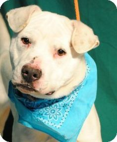 Weatherford, TX - American Pit Bull Terrier Mix. Meet Target a Dog for Adoption. He is good on a leash and playful. Give this handsome lad a second chance. This is a kill shelter.  817-598-4111
