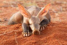 Aardvark - Orycteropus afer