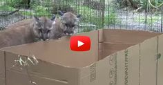 HILARIOUS! Big Cats like boxes, too! lion, black panther, bobcat, caracal, tigers, ocelot, leopards, cougars