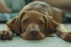 Want a Vizsla - she will look good with our Ridgie.