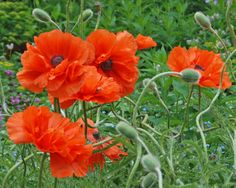 Propagating New Plants from Root Cuttings - Expand your oriental poppy planting this summer. These poppies, butterfly weed, gas plants and other fleshy rooted perennials can be started from just a piece of the root.