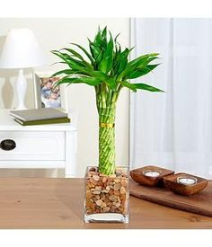 Elegant Twist Bamboo Plant In Glass Vase