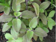 Ocimum sanctum - bazalka posvátná, tulsi Zahradnictví Krulichovi - zahradnictví, květinářství, trvalky, skalničky, bylinky a koření Korn, Plants, Plant, Planets