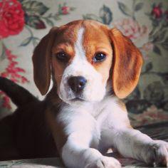 My second beagle
