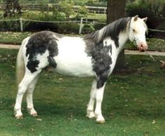 """This pony is labeled on Pinterest as """"Steely Dan, purebred crop-out Welsh pony."""" If the white is from one of the Splash genes, then I believe that's possible in Welsh ponies. I can't find any other info about him."""