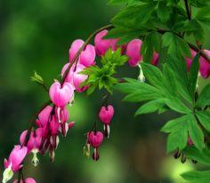 Bleeding Heart | Flickr - Photo Sharing!