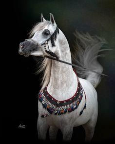 Shah Mishaal RCA (Mishaal HP x Bint Asila RCA), 2012 Grey Straight Egyptian Arabian Stallion.  Arabians Ltd, Waco, Texas. #mishaalhp