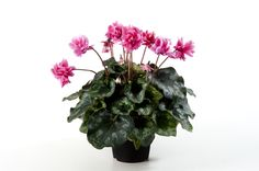 Every leaf is a flower, just imagine this cyclamen Masako with al those flowers.
