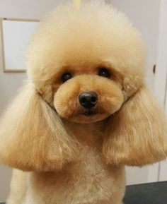 Poodle Asian groom