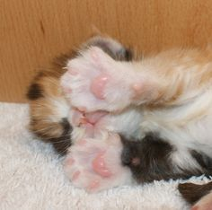 Maine Coon, kitten cuteness overload. Just want to kiss those little paws <3 . Photo by cattery #MoandCo.