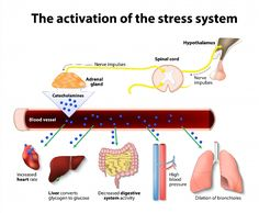 Maintaining adrenal health will improve your immunity, and boost energy. Be kind to your body, and learn to say no to unwanted stress. Medical Posters, Adrenal Health, Effects Of Stress, Learning To Say No, Chronic Stress, Chronic Fatigue, Emotional Stress, Mental Health Problems, Cortisol