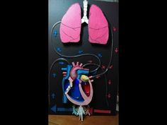Proyecto sistema circulatorio Circulatory System Project - YouTube