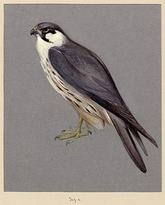 Howard Carter's naturalist watercolour of falcon see other pin of Egyptian falcon.
