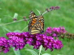 If you desire a dense privacy screen, then fast growing shrubs are the answer. Here you can find 12 recommended fast growing shrubs like Redtwig Dogwood. Butterfly Bush, Monarch Butterfly, Flowers That Attract Butterflies, Fast Growing Shrubs, Garden Workshops, Patio Plants, Colorful Garden, Garden Seeds, Trees And Shrubs