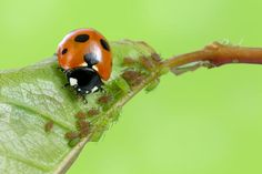 Put beneficial insects to work for you controlling pests the natural way. Use these tips to attract good bugs to your garden.