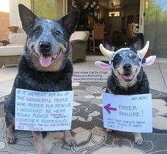 New Hope Cattle Dogs Rescue & Rehoming Arizona 602-690-8374