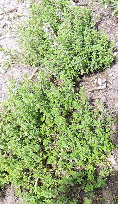 Backyard Patch Herbal Blog: Lemon Thyme - Herb of the Week (Chicken and Lemonade Recipes)