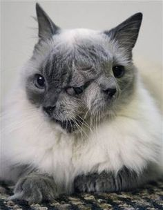 This is Louie and George, they are the oldest two-faced cat alive, He is an amazing 12 yrs. old. He is in the record books. Most cats with this abnormality die...