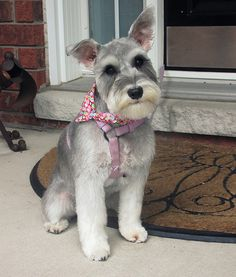 Molly, the Schnauzer... | Just a baby girl Schnauzer that I … | Flickr