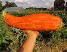 'Extinct Squash' Grown From 800-Year-Old Heirloom Seeds