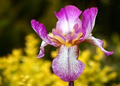 all the colors of the iris flower | The iris flower is native from North temperate regions of the world ...