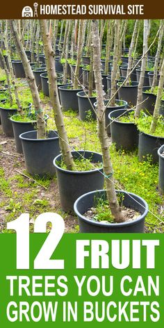 12 Fruit Trees You Can Grow In Buckets Homestead Survival Site is part of Growing fruit trees - Growing fruit trees in buckets or a similar container is an excellent way to cultivate your own fruit, even in small spaces Dwarf Fruit Trees, Fruit Plants, Fruit Garden, Garden Plants, Small Fruit Trees, Harvest Garden, Garden Urns, Potager Garden, Garden Water