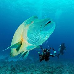 """""""A Napoleon Wrasse fish is seen in Palau, an island nation in the Pacific Ocean, in this handout photo released on October 28th 2015. Palau has created one of the world's largest marine sanctuaries, saying it wants to restore the ocean for future generations.  At 500,000 square kilometres the sanctuary is the same size as Spain, and covers an underwater wonderland containing 1,300 species of fish and 700 types of coral."""