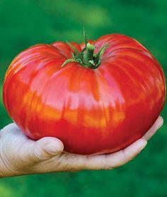 Tomato, SteakHouse Hybrid