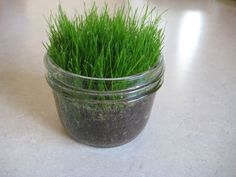glass-jar-grass- Easy gardening project. Grows in a about 4-5 days. I like that it's done in a glass jar so the children can watch what's going on under the soil!