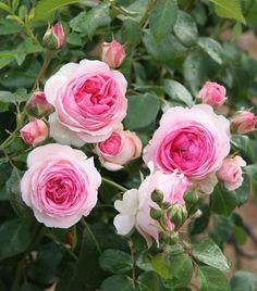 """ Joachim du Bellay "" (SAUcabou), also known as "" Hermitage "" - Flroribunda rose - White, pink center - Mild fragrance - Bernard Sauvageot (France), 2004"