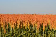 Amber waves of grain........Prosper, Texas