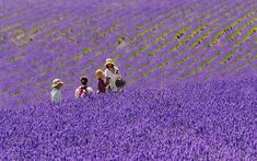 Spring flowers in Furano, Japan: The mild summers in Japan's northern Hokkaido Prefecture make it one of the most ideal places in Asia to grow lavender.