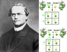 The solitary road of revolutionary evolutionists: 8th of March 1865, the Augustinian monk Gregor Mendel told his local natural science society about a decade of results from thousands of cross-breeding experiments with varieties of the pea plant Pisum sativum. Only 35 years later, long after his death, were his ideas taken up by plant breeders, cited as revolutionary, and used as foundation stones for a new science of genetics. http://en.wikipedia.org/wiki/Gregor_Mendel